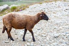 Troupeaux de moutons aux pâturages alpins Image stock