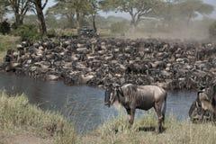 Troupeaux de wildebeest image libre de droits