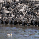 Troupeaux de wildebeest et d'oiseau chez le Serengeti Image stock