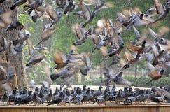 Troupeaux des pigeons en vol et de la position Photos libres de droits