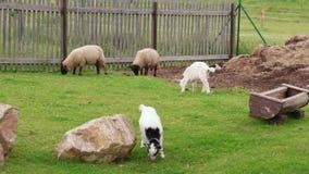 Troupeaux et troupeaux, goatling blanc et moutons frôlant sur la laiterie banque de vidéos