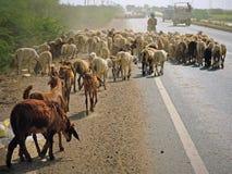 Troupeaux sur une route indienne Images libres de droits