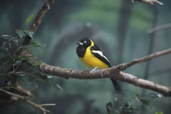 Troupial, Icterus icterus Royalty Free Stock Photos