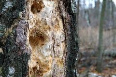 Trous de pivert dans un plan rapproché de tronc d'arbre image libre de droits