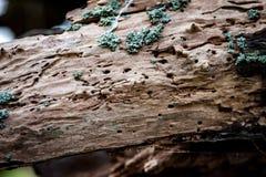 trous de scarabée de Bois-sondage photographie stock