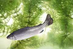 Trout Stock Images