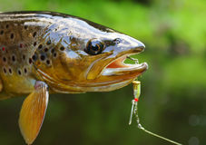 trout royalty free stock images