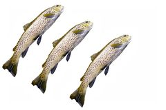 Trout. Three brown trout from river stock image