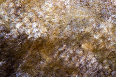 Trout. Macro photography of the skin of a trout Royalty Free Stock Photos