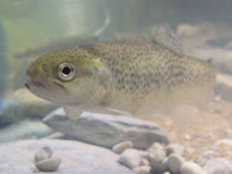 Free Trout Stock Image - 4432221