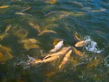 Trout. Feeding of trout at fish-farm stock photography
