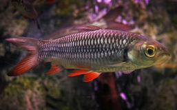 Trout. Fish with red tail in water stock image