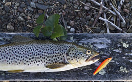 Trout. Caught trout and trout lure royalty free stock photo