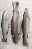 Trout and charr royalty free stock photos