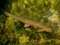 Trout in Clear Creek. A big wild rainbow trout swimming in a clear creek in the town Soest Stock Photography