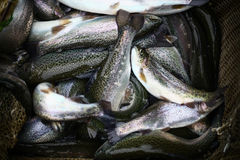 Trout close up Stock Images