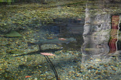 Trout in Creek. Rainbow Trout in Stream near Emmaus PA stock photos