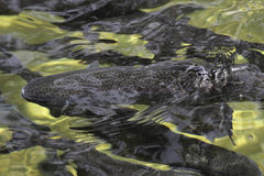 Trout farm Royalty Free Stock Images
