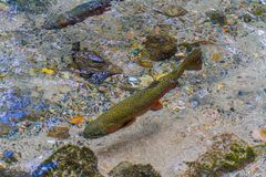 trout feeding in a stream stock photography
