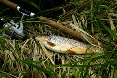 Trout fish. Small trout from small river Stock Photos