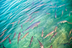 Trout fish. In emerald-green water in ray of light Stock Image