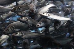 Trout fish bank. Fish bank in large aquarium, Tenerif Stock Photo