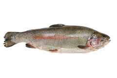 Trout fish containing omega-3 isolated on white Royalty Free Stock Photo