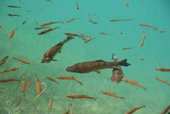 Trout fish in the crystal clear pure water. Underwater image of trout fish in the emerald water of Plitvice lake (Plitvicka jezera) natural national park Stock Photography