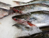 Trout fish head Royalty Free Stock Images