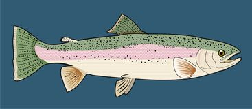 Trout Fish Illustration. Detailed illustration of a rainbow trout on a blue backgorund Stock Photo