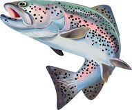 Free Trout Fish Illustration. Colorful Illustration With Details Royalty Free Stock Photography - 132232997