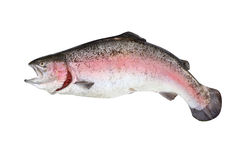Trout fish isolate Stock Photo