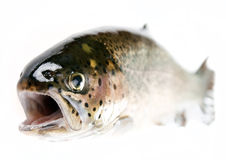 Trout fish isolated Stock Photography