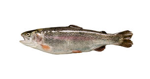 Trout fish isolated Royalty Free Stock Photos
