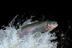 Trout fish jumping with splashing in water royalty free stock photo