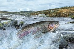 Trout fish jumping with splashing in water. Fishing. Rainbow trout fish jumping with splashing in water royalty free stock images