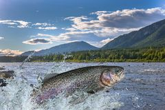 Trout fish jumping with splashing in water. Fishing. Rainbow trout fish jumping with splashing in water royalty free stock image