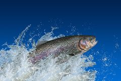 Free Trout Fish Jumping With Splashing In Water Stock Photos - 139664333