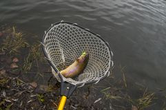 Trout fish in landing net. Area fishing background.  stock photography