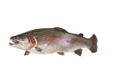 Trout fish with opened mouth. One fresh trout fish with opened mouth royalty free stock photos