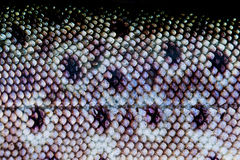Trout Fish skin Royalty Free Stock Image