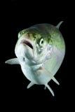 Trout Fish In Studio Aquarium Royalty Free Stock Images