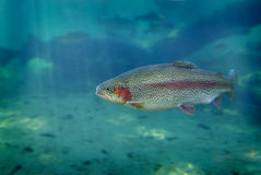Trout Fish Swimming Stock Photos