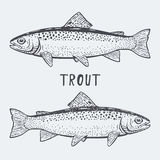 Trout fish vector illustration Stock Photos