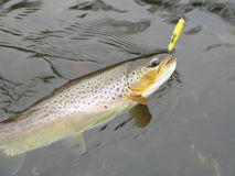 Trout fishing Stock Image
