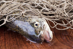 Trout in a fishing net. Closeup of a fresh trout fish in a fishing net Royalty Free Stock Image