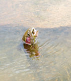 Trout fishing out of water Royalty Free Stock Photography