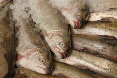 Trout on fishmonger's slab. Fresh trout on ice on fishmonger's slab Stock Photo