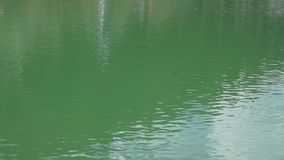 Trout floating in a mountain lake carefully explore in search of food stock video