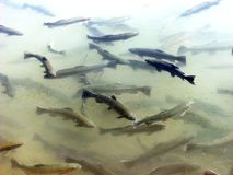 A trout flock in a pond. A flock of freshwater fish trout floats at the in farmer pond stock photo